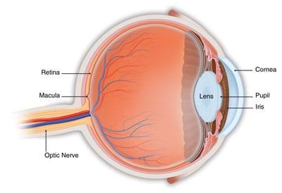 Retinaanatomy